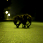 Perro Araña